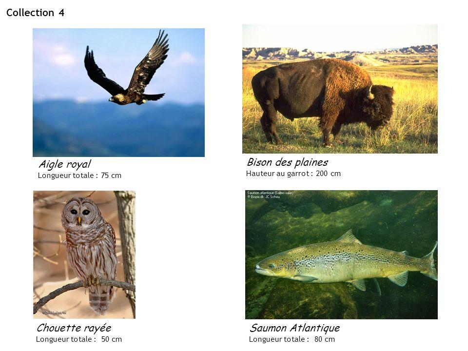 Collection 4 Bison des plaines Hauteur au garrot : 200 cm Aigle royal Longueur totale : 75 cm Chouette rayée Longueur totale : 50 cm Saumon Atlantique