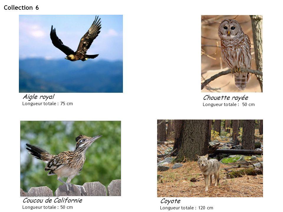Collection 6 Aigle royal Longueur totale : 75 cm Chouette rayée Longueur totale : 50 cm Coucou de Californie Longueur totale : 50 cm Coyote Longueur t
