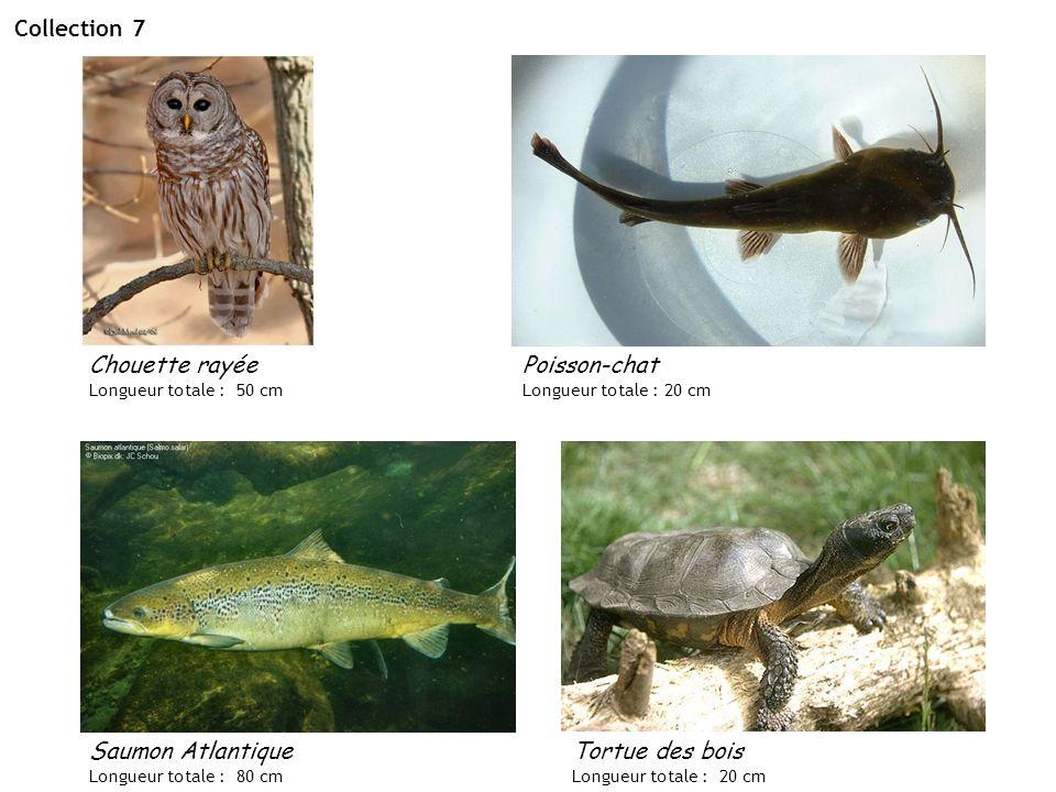 Collection 7 Saumon Atlantique Longueur totale : 80 cm Poisson-chat Longueur totale : 20 cm Chouette rayée Longueur totale : 50 cm Tortue des bois Lon