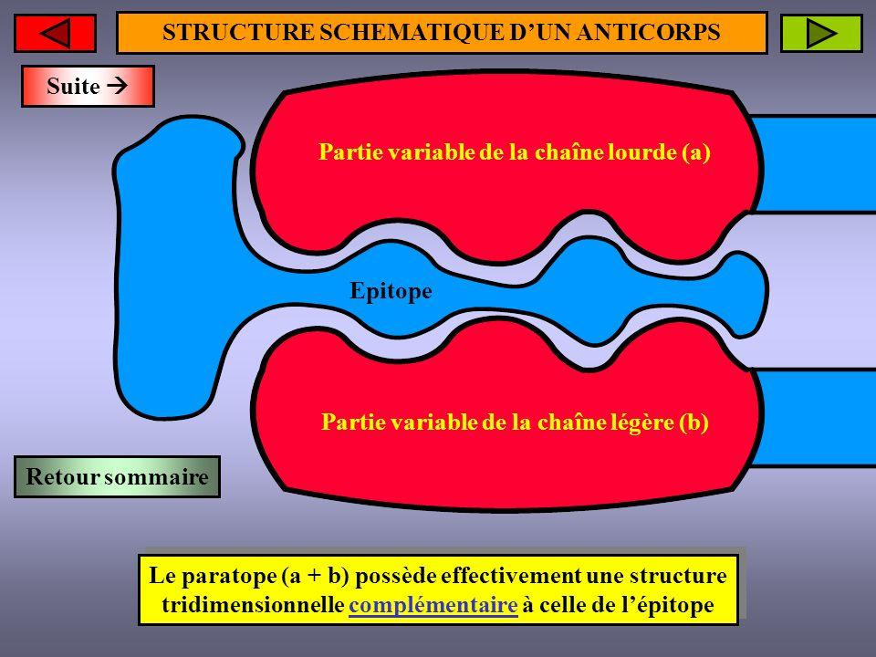 STRUCTURE SCHEMATIQUE DUN ANTICORPS Le paratope (a + b) possède effectivement une structure tridimensionnelle complémentaire à celle de lépitope Parti