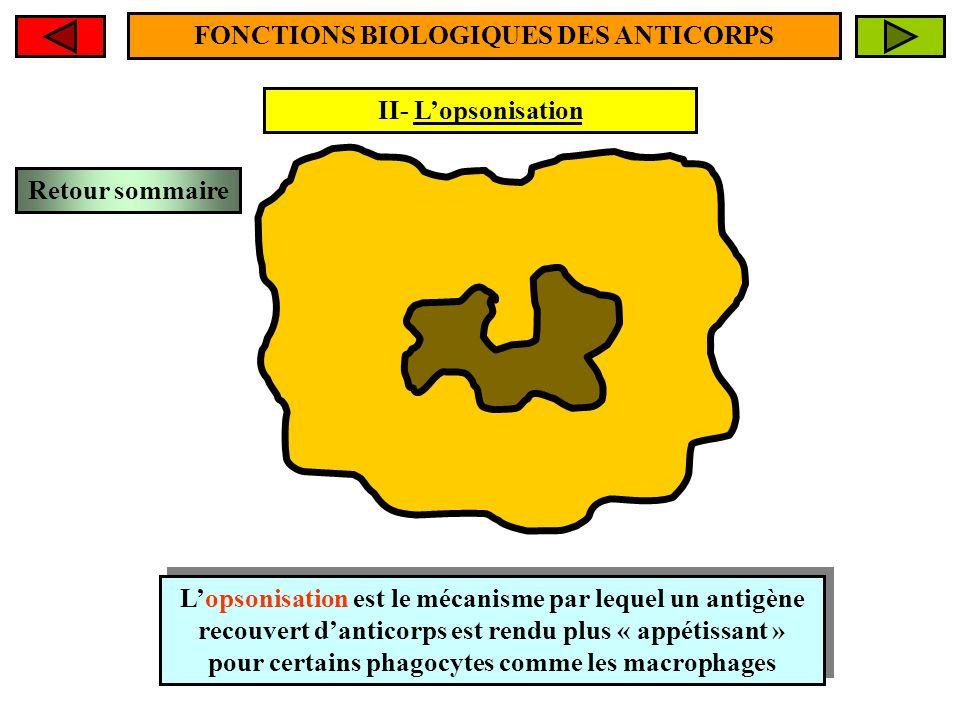 II- Lopsonisation FONCTIONS BIOLOGIQUES DES ANTICORPS Lopsonisation est le mécanisme par lequel un antigène recouvert danticorps est rendu plus « appé