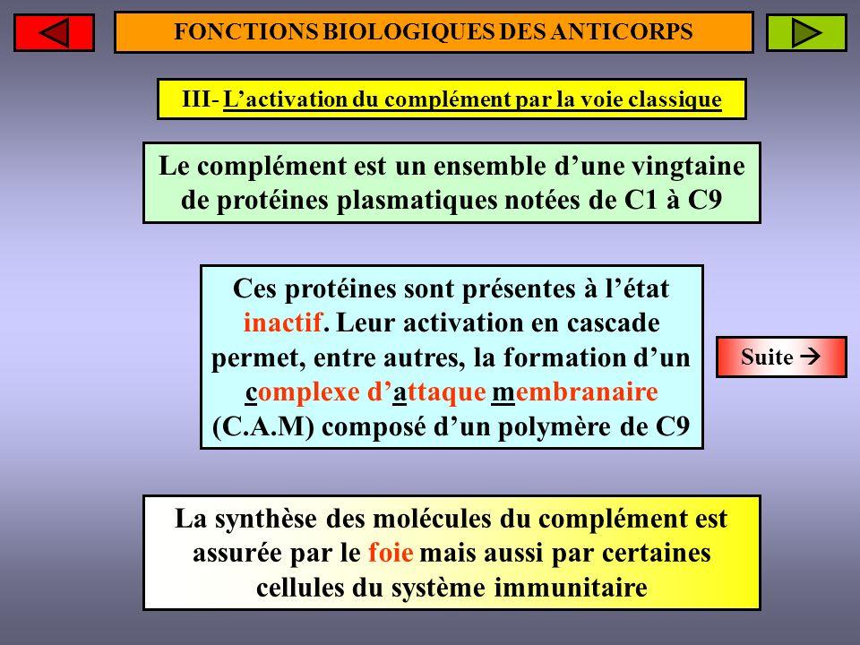FONCTIONS BIOLOGIQUES DES ANTICORPS III- Lactivation du complément par la voie classique Le complément est un ensemble dune vingtaine de protéines pla