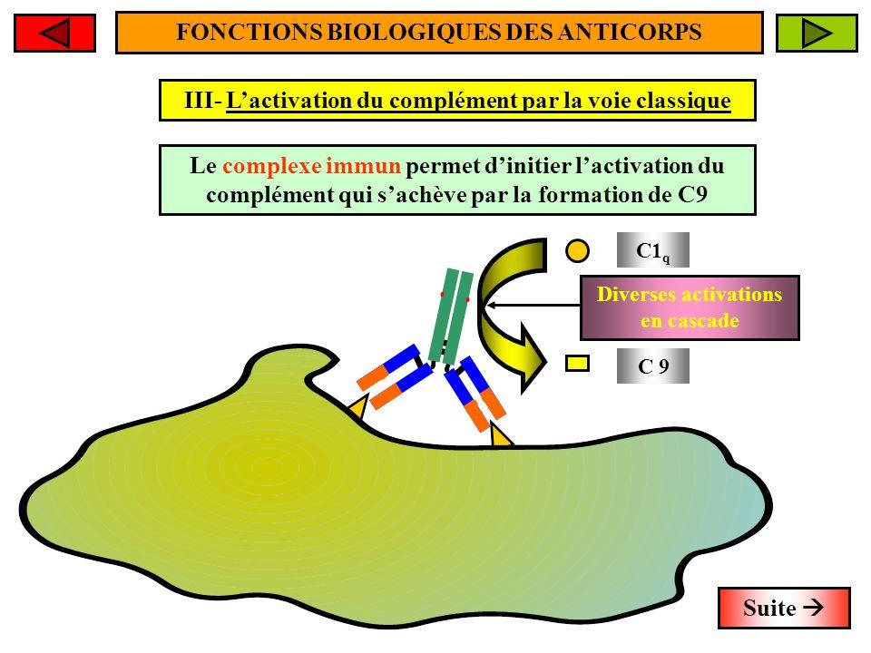 FONCTIONS BIOLOGIQUES DES ANTICORPS III- Lactivation du complément par la voie classique C1 q C 9 Diverses activations en cascade Suite Le complexe im