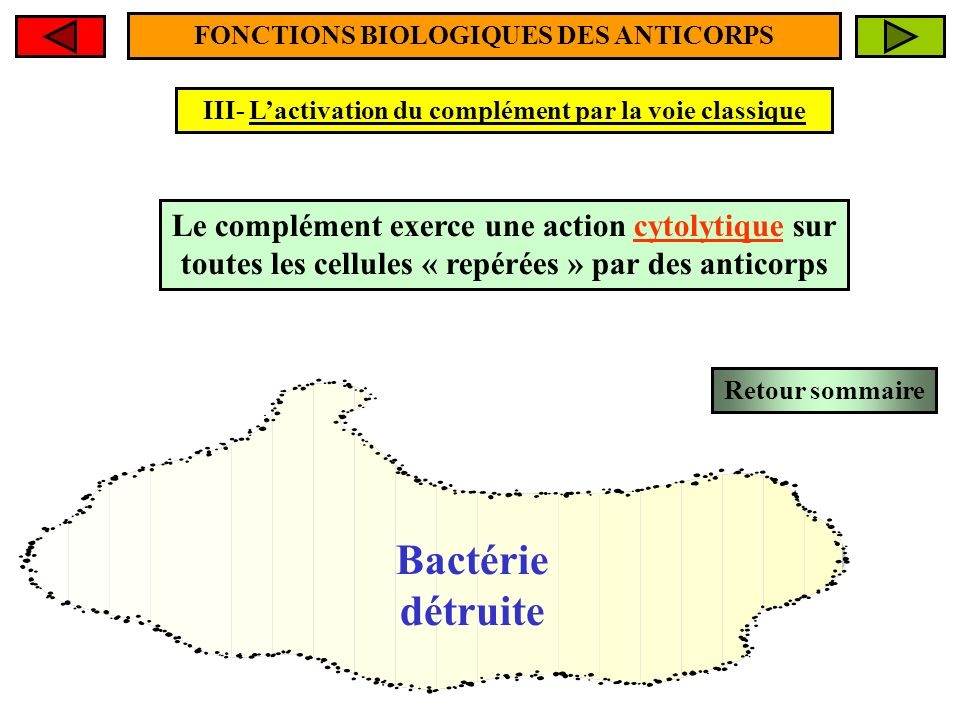 FONCTIONS BIOLOGIQUES DES ANTICORPS III- Lactivation du complément par la voie classique Entrée massive deau par osmose Bactérie détruite Le complémen