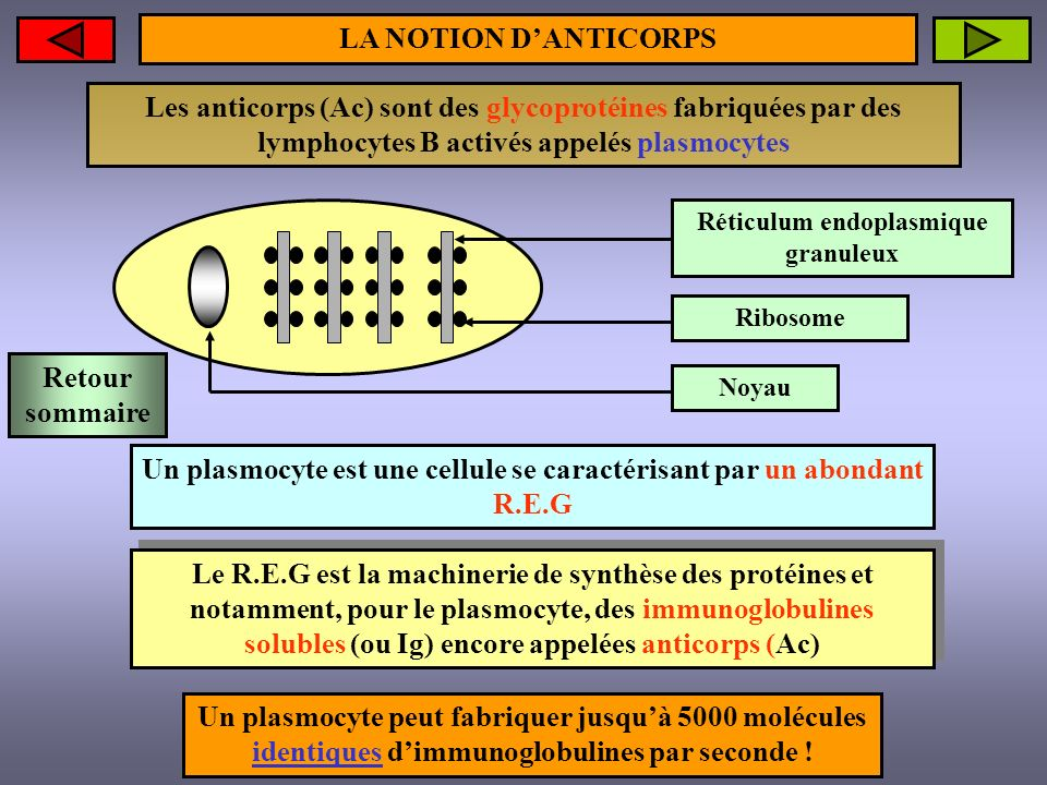 STRUCTURE SCHEMATIQUE DUN ANTICORPS Groupement glucidique Ponts disulfures Partie variable Partie constante Chaînes lourdes (H)Site de fixation à lantigène ou PARATOPE Chaîne légère (L) Structure (H 2 L 2 ) dun Ac 1 dirigé contre un Ag 1 Retour sommaire Suite