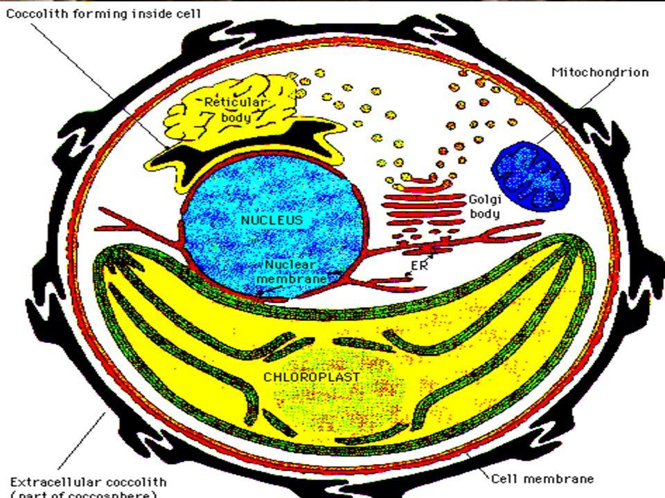 Biologie Ce sont des organismes unicellulaires phytoplanctoniques (algues marines), exclusivement marins, apparus au Trias, colonisant toutes les surfaces océaniques.