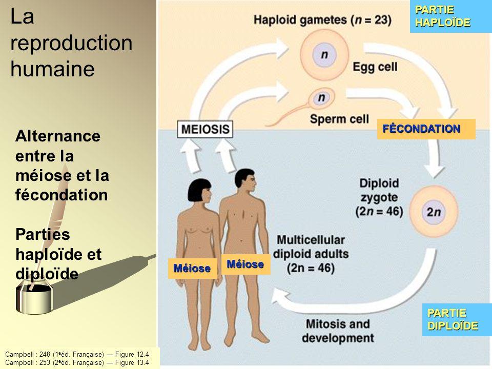 Alternance entre la méiose et la fécondation Parties haploïde et diploïde Méiose Méiose PARTIE HAPLOÏDE FÉCONDATION PARTIE DIPLOÏDE La reproduction hu