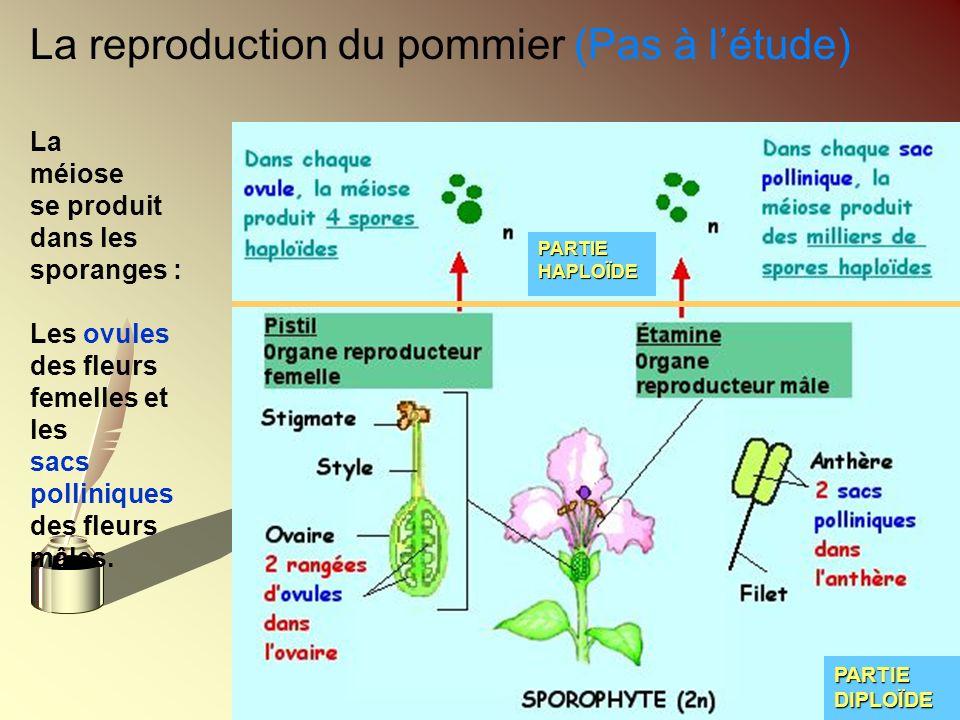 La reproduction du pommier (Pas à létude) La méiose se produit dans les sporanges : Les ovules des fleurs femelles et les sacs polliniques des fleurs