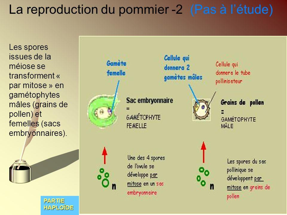 La reproduction du pommier -2 (Pas à létude) Les spores issues de la méiose se transforment « par mitose » en gamétophytes mâles (grains de pollen) et