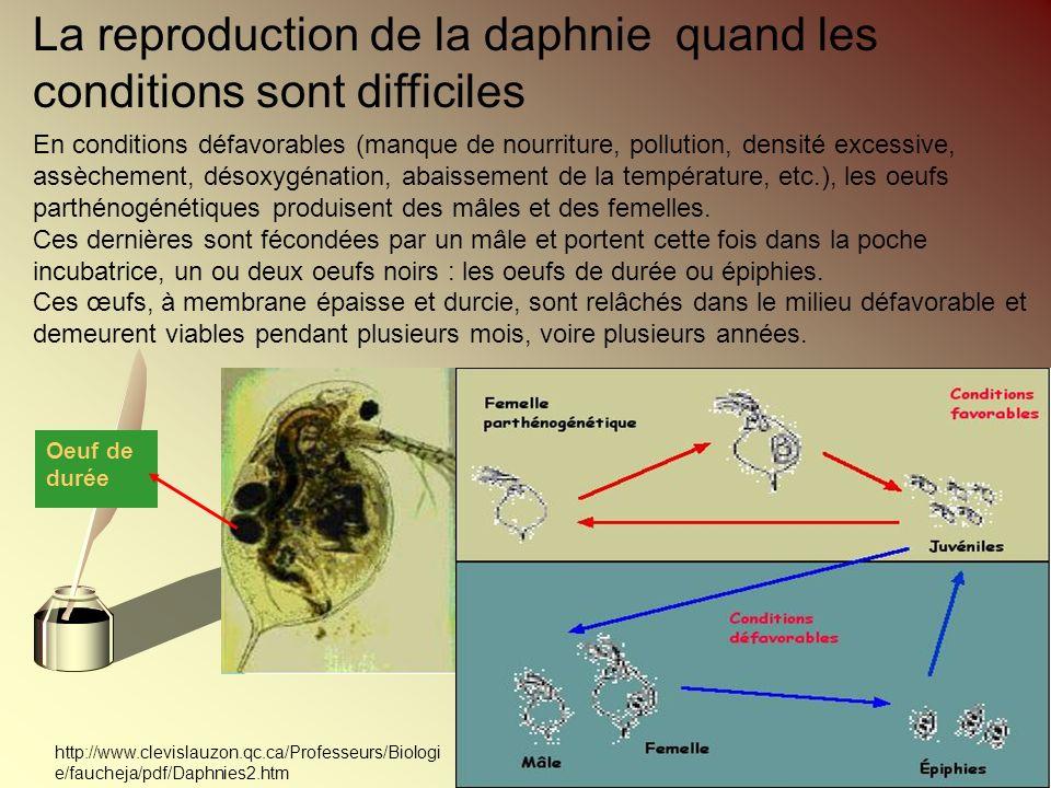 La reproduction de la daphnie quand les conditions sont difficiles En conditions défavorables (manque de nourriture, pollution, densité excessive, ass