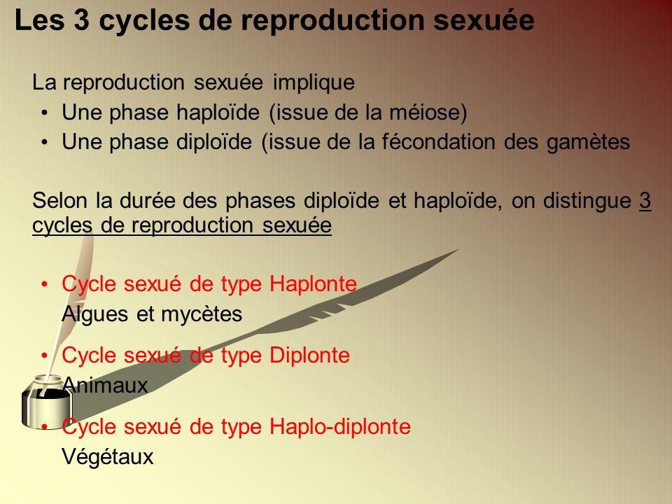 Les 3 cycles de reproduction sexuée La reproduction sexuée implique Une phase haploïde (issue de la méiose) Une phase diploïde (issue de la fécondatio