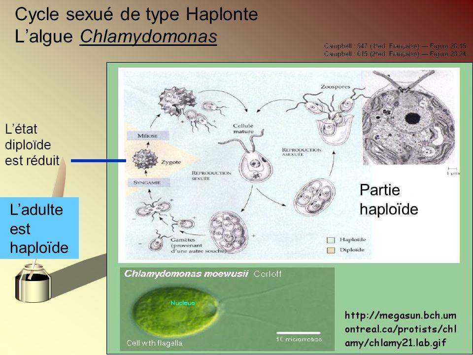Cycle sexué de type Haplonte Lalgue Chlamydomonas Ladulte est haploïde Létat diploïde est réduit Campbell : 547 (1 e éd. Française) Figure 26.15 Campb