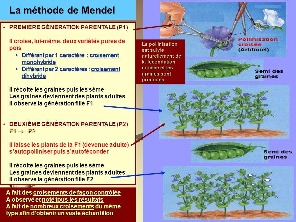 La méthode de Mendel A fait des croisements de façon contrôlée A observé et noté tous les résultats A fait de nombreux croisements du même type afin d
