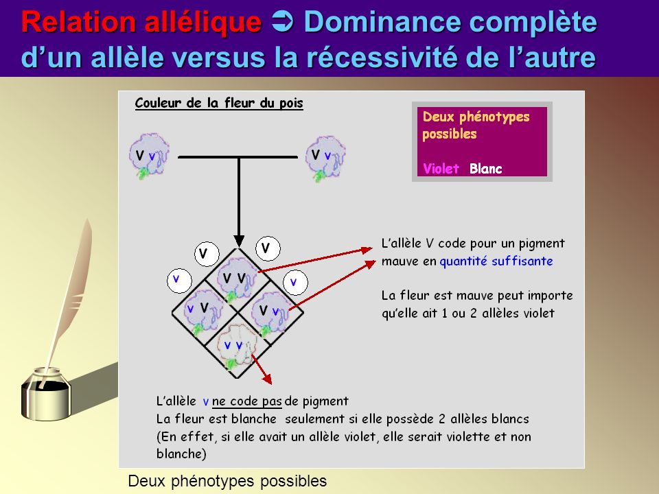 Relation allélique Dominance complète dun allèle versus la récessivité de lautre Deux phénotypes possibles