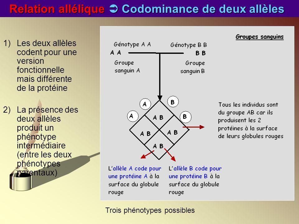 Relation allélique Codominance de deux allèles 1)Les deux allèles codent pour une version fonctionnelle mais différente de la protéine 2)La présence d