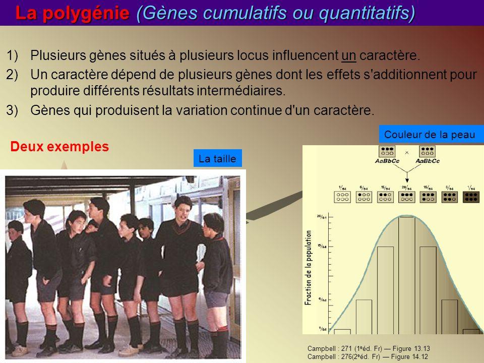 La polygénie (Gènes cumulatifs ou quantitatifs) 1)Plusieurs gènes situés à plusieurs locus influencent un caractère. 2)Un caractère dépend de plusieur