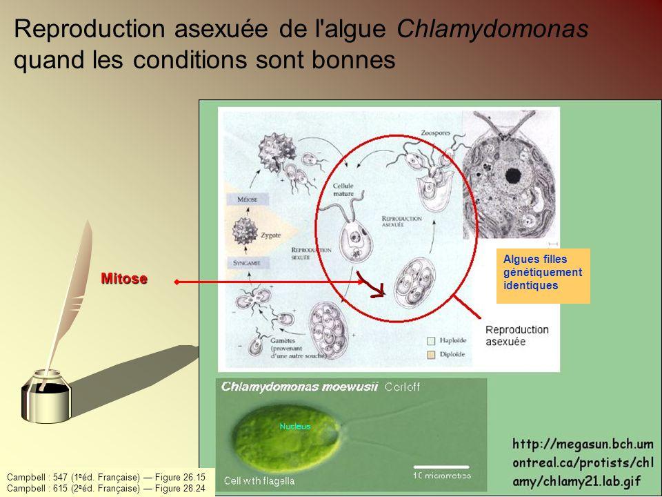 Reproduction asexuée de l'algue Chlamydomonas quand les conditions sont bonnes Algues filles génétiquement identiquesMitose Campbell : 547 (1 e éd. Fr