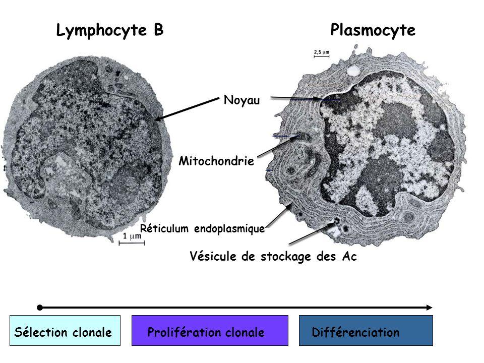 Lymphocyte BPlasmocyte Noyau Mitochondrie Réticulum endoplasmique Vésicule de stockage des Ac Sélection clonaleProlifération clonaleDifférenciation