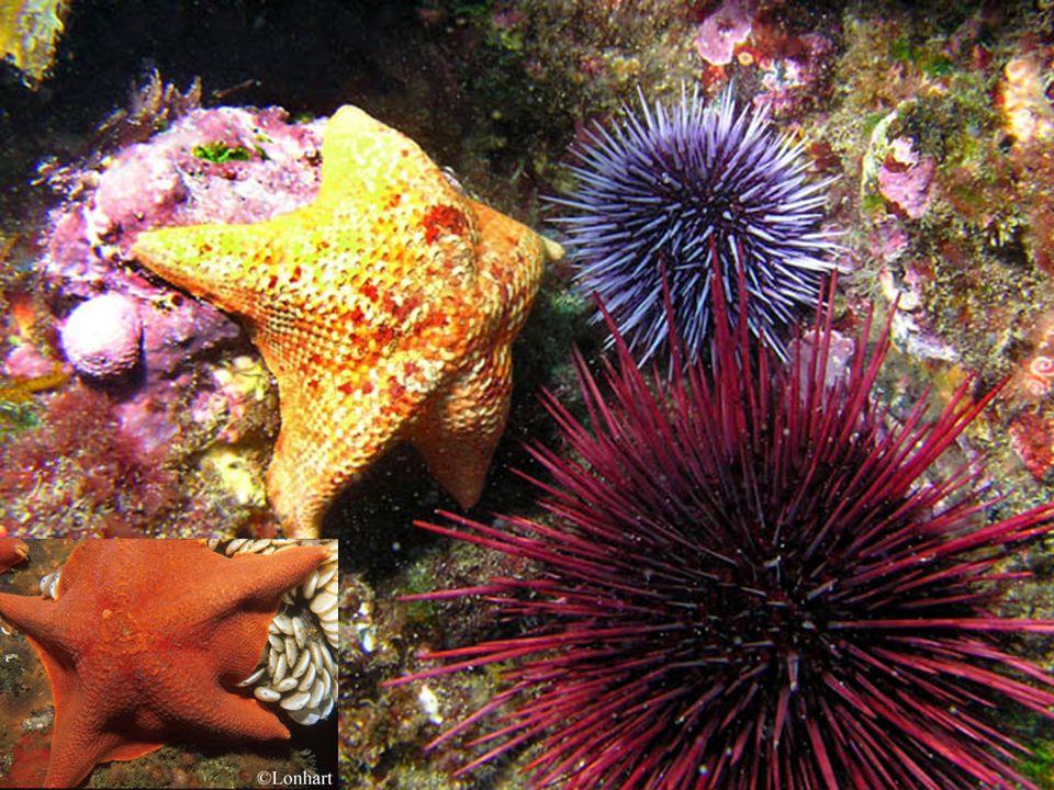 Cnidaires…méduses Sea nettle