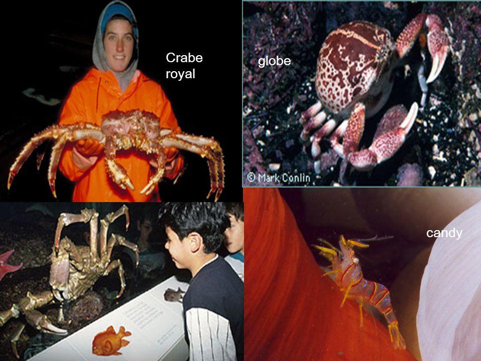 Crabe masqué mimétisme