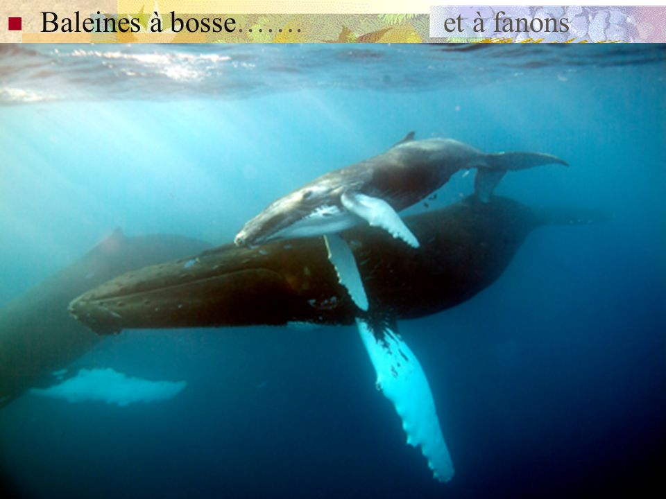 -baleines grises: longent la côte depuis les zones de nourrissage en Alaska en été ( où elles filtrent la vase alluvionnaire ou glaciaire, se nourriss