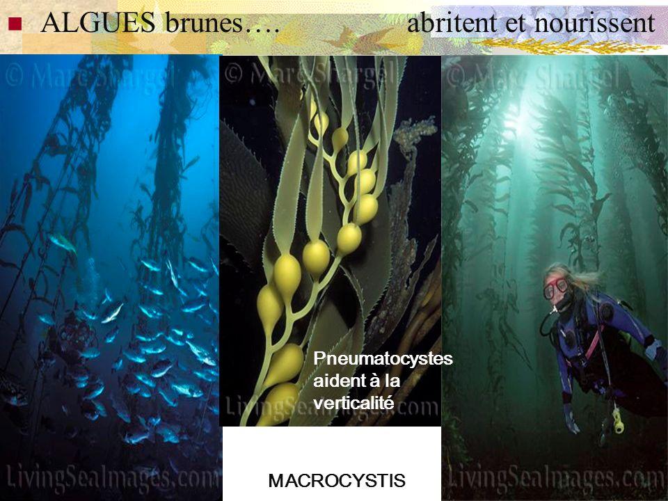 ALGUES 1= red turf algae 2= Chondracanthus corymbiferus 3= erect coralline algae 4= Pterygophora californica 5= Nereocystis luetkeana 6= Rhodymenia sp