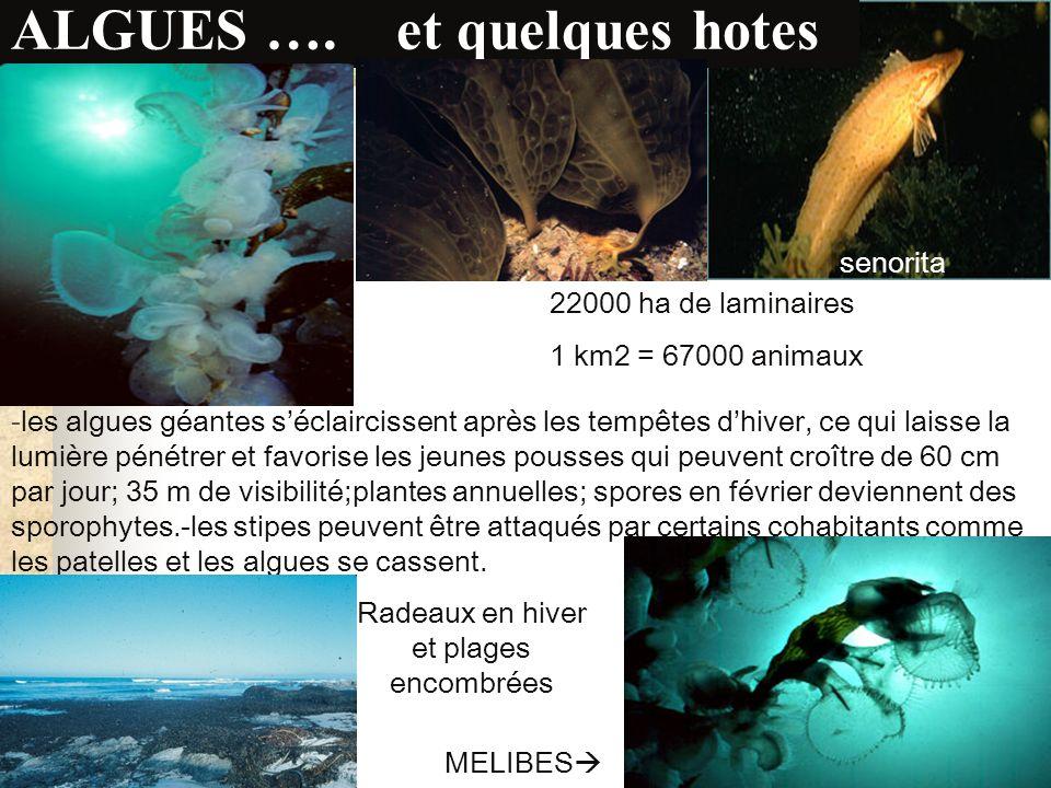 Nereocystis luetkeana… the great kelp Un seul flotteur mais une frondaison de 20m qui crée une mer dhuile