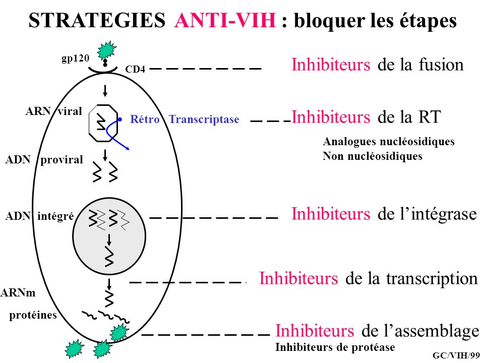 LA MOLECULE CD4 : le récepteur principal CPA LT CD4 CD4 RCT LT CD4 CD4 RCT VIH Lymphocytes CD4 … mais aussi cellules de la famille monocytes/macrophages GC/VIH/99 Récepteur de haute affinité de la gp120 Ligand naturel des molécules CMH cl II