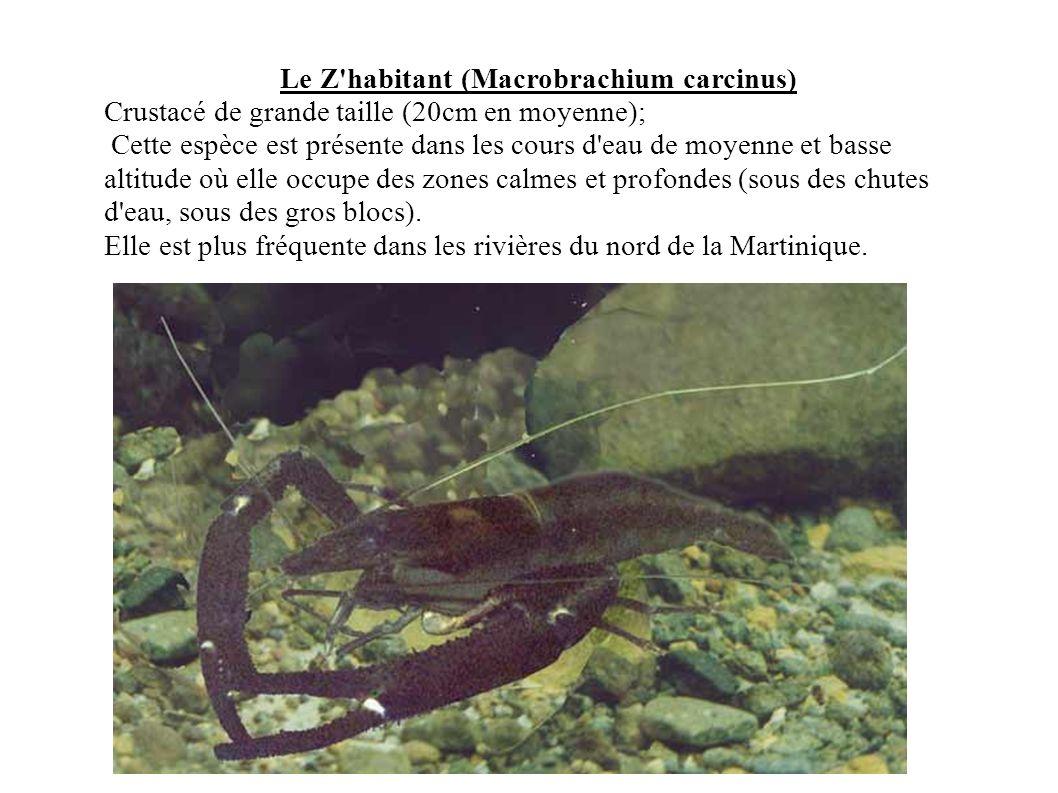 Le Z'habitant (Macrobrachium carcinus) Crustacé de grande taille (20cm en moyenne); Cette espèce est présente dans les cours d'eau de moyenne et basse