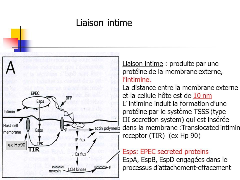 Liaison intime : produite par une protéine de la membrane externe, lintimine. La distance entre la membrane externe et la cellule hôte est de 10 nm L