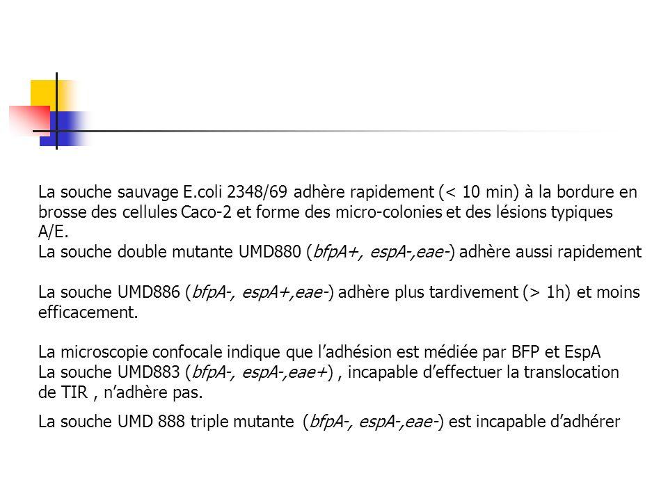 La souche sauvage E.coli 2348/69 adhère rapidement (< 10 min) à la bordure en brosse des cellules Caco-2 et forme des micro-colonies et des lésions ty