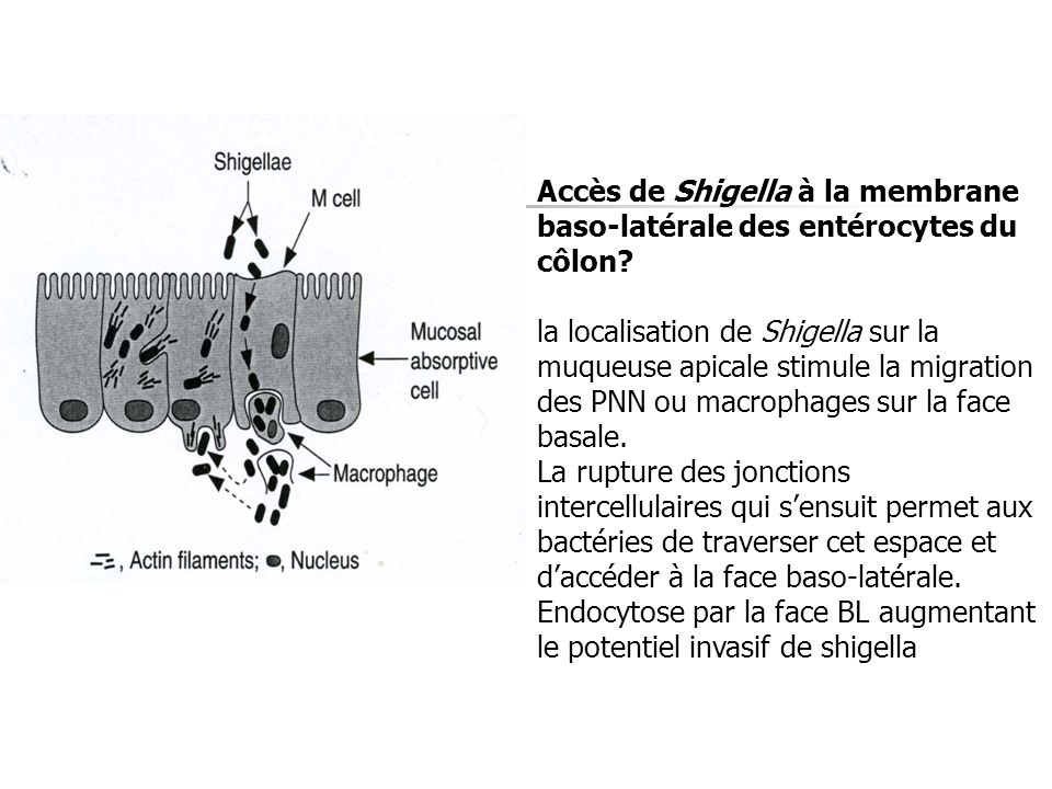Accès de Shigella à la membrane baso-latérale des entérocytes du côlon? la localisation de Shigella sur la muqueuse apicale stimule la migration des P