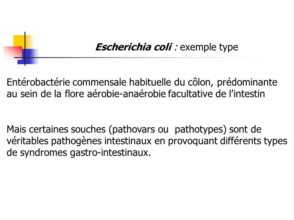 Escherichia coli : exemple type Entérobactérie commensale habituelle du côlon, prédominante au sein de la flore aérobie-anaérobie facultative de linte