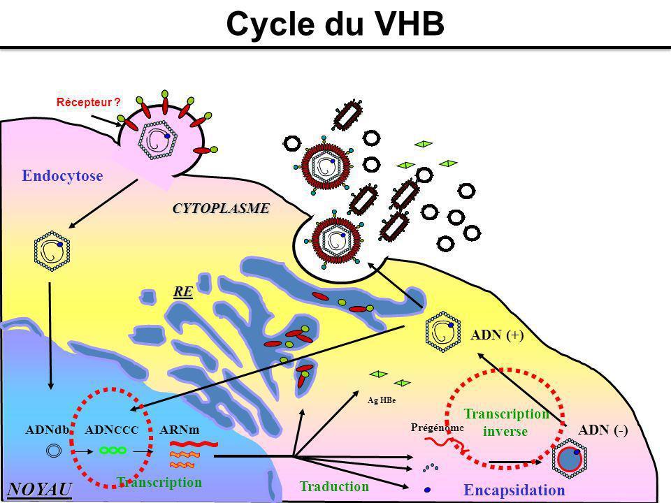 RE NOYAU CYTOPLASME Endocytose Prégénome Ag HBe Traduction Cycle du VHB ADN CCC ADNdb ARNm Transcription Encapsidation Transcription inverse ADN (-) A