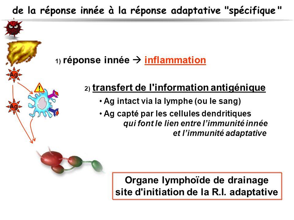 1) réponse innée inflammation 2) transfert de l'information antigénique Ag intact via la lymphe (ou le sang) Ag capté par les cellules dendritiques qu