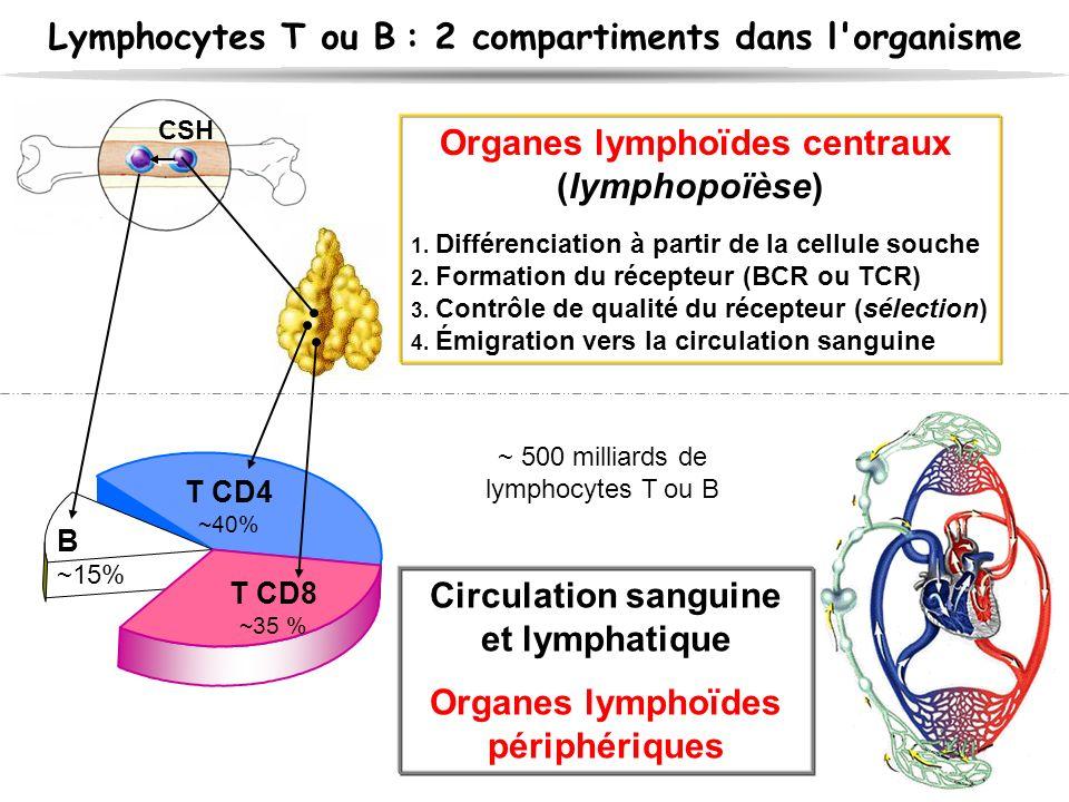 Lymphocytes T ou B : 2 compartiments dans l'organisme Organes lymphoïdes centraux (lymphopoïèse) 1. Différenciation à partir de la cellule souche 2. F