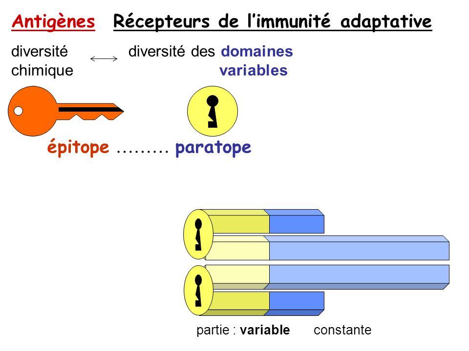 épitope ……… paratope Antigènes Récepteurs de limmunité adaptative diversité diversité des domaines chimique variables partie : variable constante