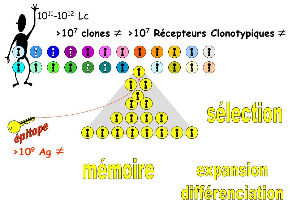 10 11 -10 12 Lc >10 7 clones >10 7 Récepteurs Clonotypiques >10 9 Ag