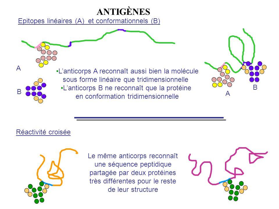 Epitopes linéaires (A) et conformationnels (B) Réactivité croisée Le même anticorps reconnaît une séquence peptidique partagée par deux protéines très