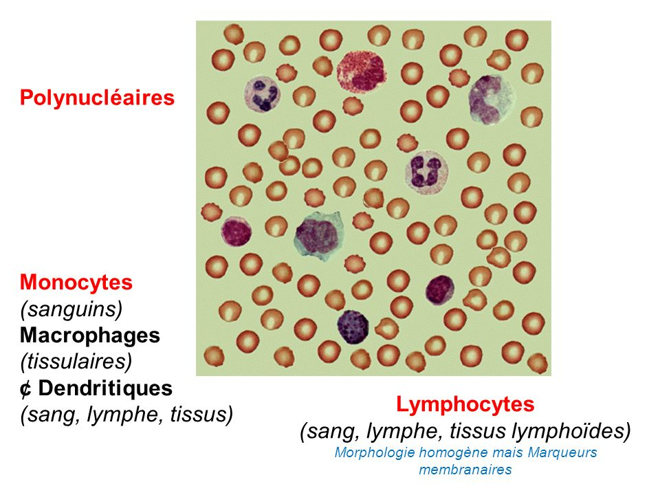 Lymphocytes (sang, lymphe, tissus lymphoïdes) Morphologie homogène mais Marqueurs membranaires Monocytes (sanguins) Macrophages (tissulaires) ¢ Dendri