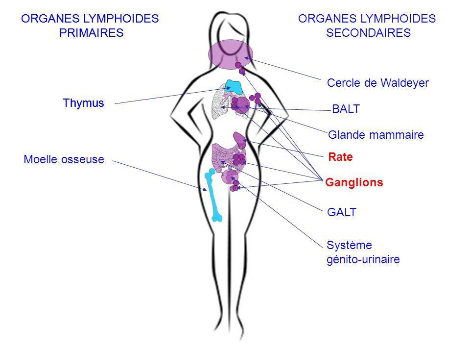 MO hématopoïétique Thymus Ag OL secondaires recirculation OL centraux Tissus périphériques