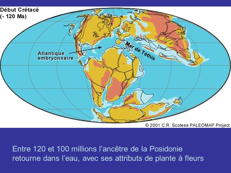 Mer de Téthis Entre 120 et 100 millions lancêtre de la Posidonie retourne dans leau, avec ses attributs de plante à fleurs