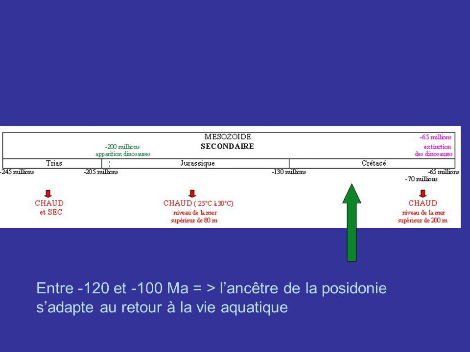 Entre -120 et -100 Ma = > lancêtre de la posidonie sadapte au retour à la vie aquatique