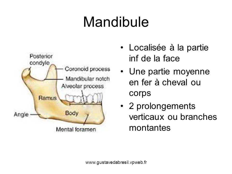 Mandibule Localisée à la partie inf de la face Une partie moyenne en fer à cheval ou corps 2 prolongements verticaux ou branches montantes