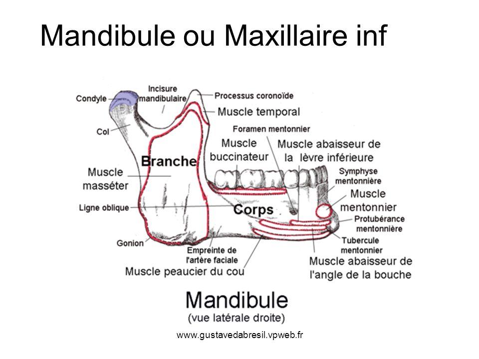 www.gustavedabresil.vpweb.fr Mandibule ou Maxillaire inf