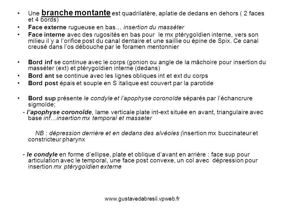 www.gustavedabresil.vpweb.fr Une branche montante est quadrilatère, aplatie de dedans en dehors ( 2 faces et 4 bords) Face externe rugueuse en bas… in