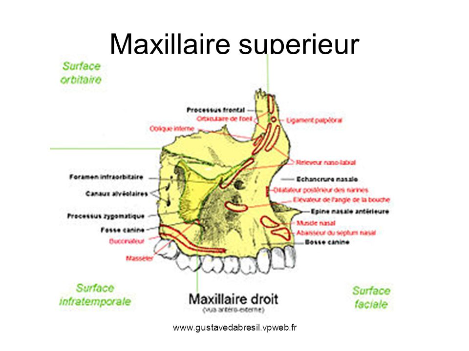 www.gustavedabresil.vpweb.fr Maxillaire superieur