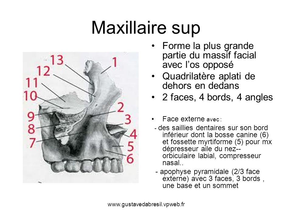 www.gustavedabresil.vpweb.fr Maxillaire sup Forme la plus grande partie du massif facial avec los opposé Quadrilatère aplati de dehors en dedans 2 fac