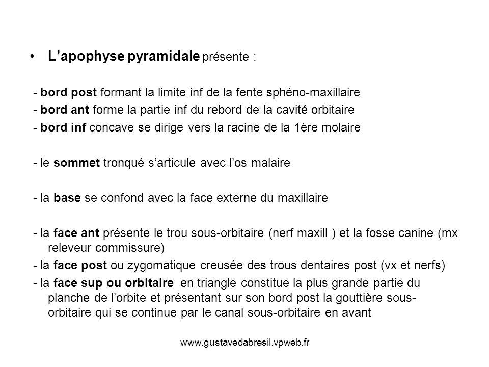 www.gustavedabresil.vpweb.fr Lapophyse pyramidale présente : - bord post formant la limite inf de la fente sphéno-maxillaire - bord ant forme la parti