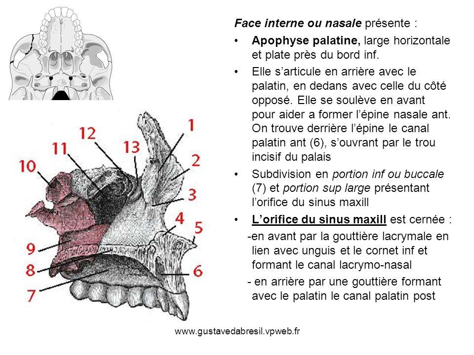 www.gustavedabresil.vpweb.fr Face interne ou nasale présente : Apophyse palatine, large horizontale et plate près du bord inf. Elle sarticule en arriè